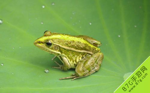 阴阳师信物青蛙