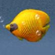 红海黄金蝶