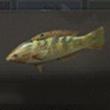 云斑海猪鱼