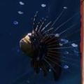龍須獅子魚